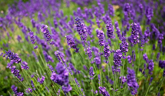 Velden vol geurende lavendel in de Noordoostpolder