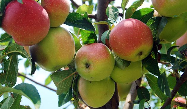Eet iedere dag een appel