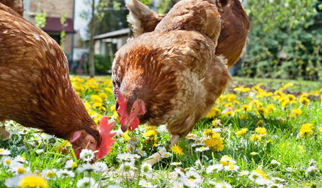 Kippen houden in de stad