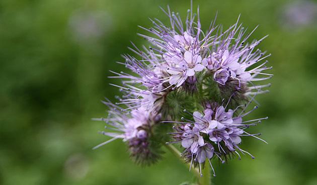 Bijenvoer (phacelia tanacetifolia) zorgt voor groenbemesting
