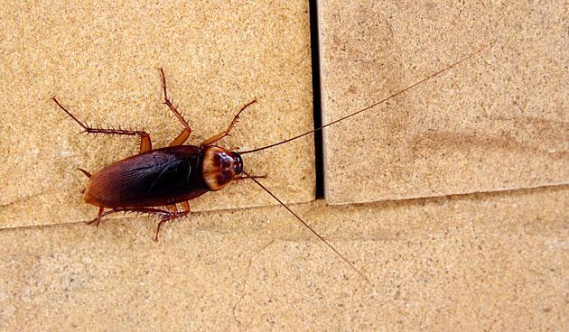 Praktische insectenval tegen kakkerlakken
