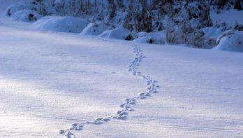 Dierensporen ontdekken in de sneeuw