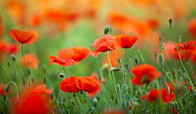 klaproosjes zijn een van onze mooiste akkerbloemen