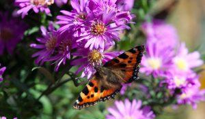 Herfstasters zorgen voor veel kleur in de tuin en lokken bovendien vlinders aan