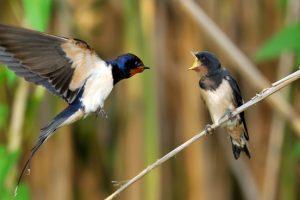Zwaluwen trekken begin september naar Afrika om te overwinteren