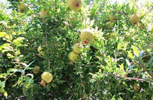 Weblog: De granaatappel!