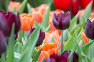 Tulpen planten in de herfst zorgt voor een sprankelende lentetuin!