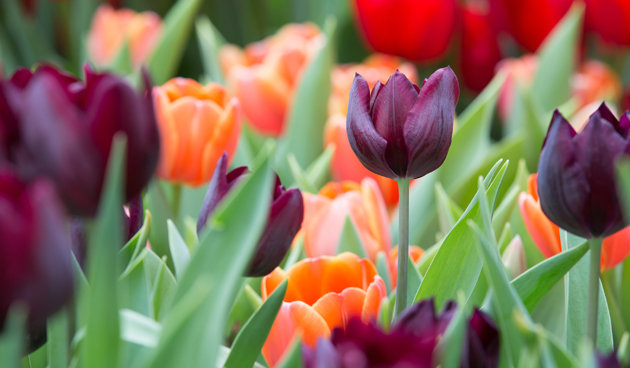 Tulpen planten voor sprankelende combinaties