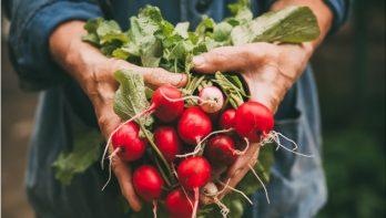 Radijs: rood, scherp en knapperig
