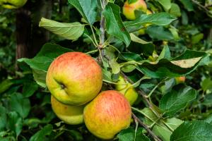 appels en peren kweken