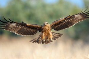 Havik roofvogels