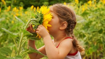Gezonde zonnebloemen