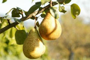 peren aan boom shutterstock