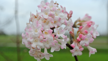 Viburnum in de wintertuin