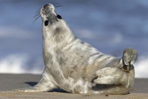 Jonge grijze zeehond