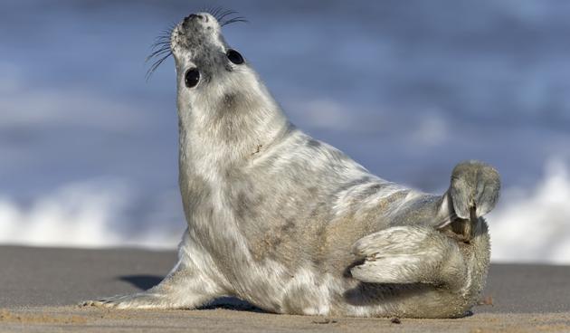 8 weetjes over de grijze zeehond