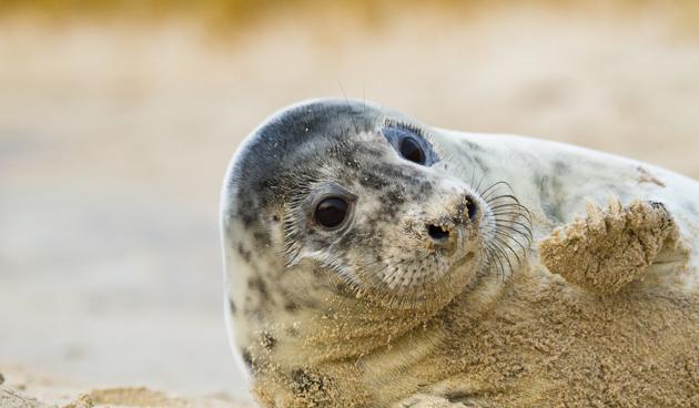 grijze zeehond weetjes