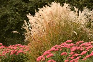 sedum - bloeiende planten