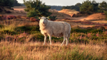 Het schaap