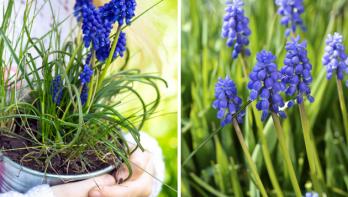 Blauwe bloemen in de lente