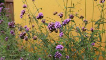 6x bloei tijdens de nazomer