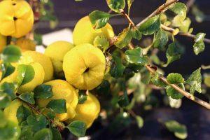 Gelei van Japanse sierkwee met steranijs