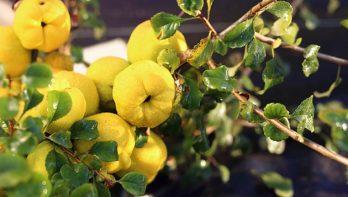 Recept: Gelei van Japanse sierkwee met steranijs