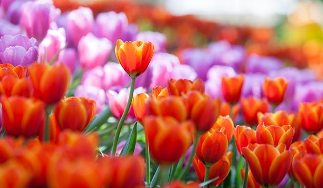 Basisscholen planten1,5 miljoen bloembollen