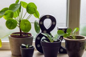 pannenkoekenplant (pilea) mooie kamerplant