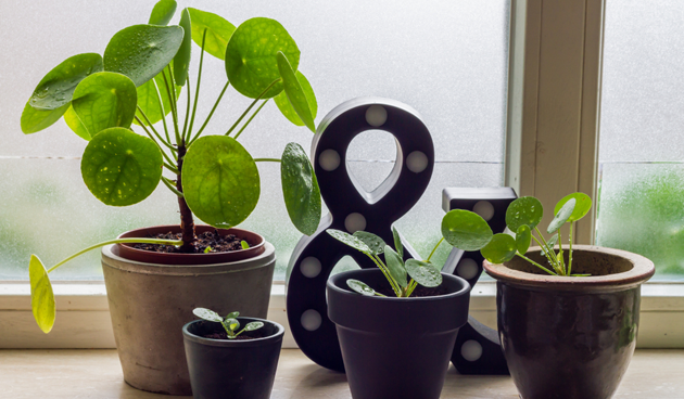 Leuke kamerplant: pannenkoekenplant (Pilea peperomioides)