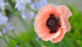 Oosterse papaver