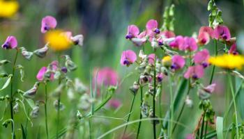 Bloemenweide voor bijen en vlinders