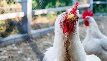 kippen in je tuin, daarom!