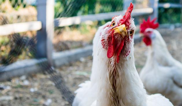 9 redenen om kippen te houden in je tuin
