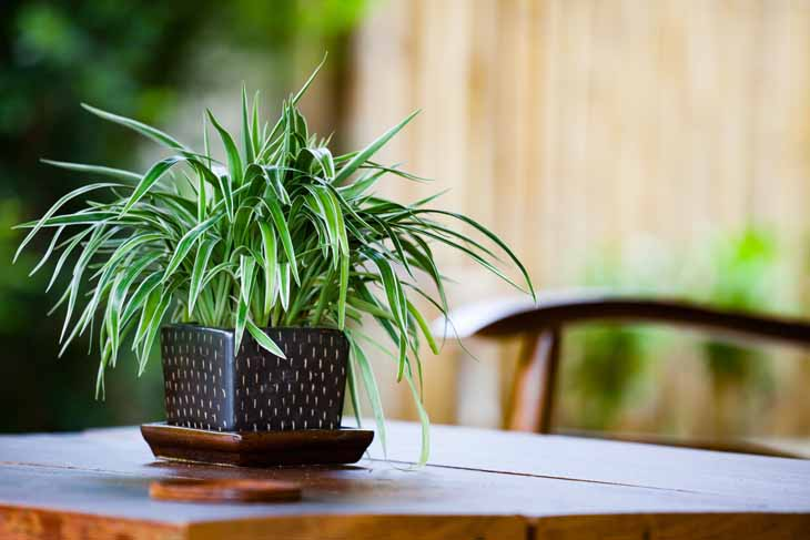 Chlorophytum kamerplant