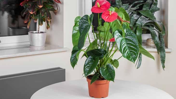 flamingoplant, luchtzuiverende planten