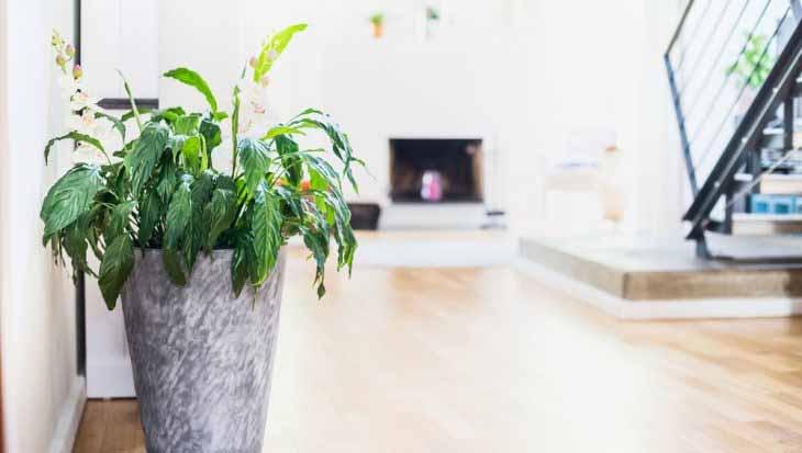 lepelplant, luchtzuiverende planten