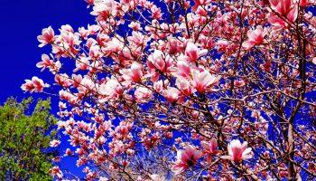magnolia in de lente