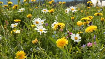 Waarom een bloemenweide zo goed is