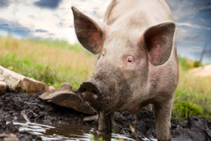 dit moet je weten over varkens