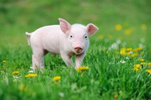 dit moet je weten over tamme varkens