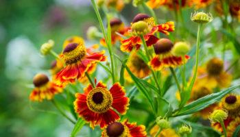 Helenium : zonnig en warm zonnekruid
