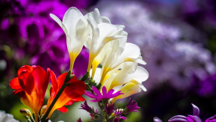 Freesia, een geurende schoonheid in je tuin